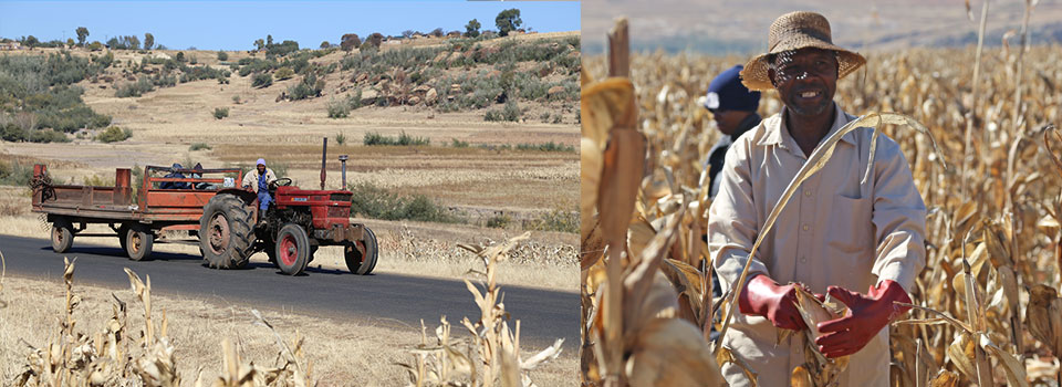 Harvesting maize in Lesotho